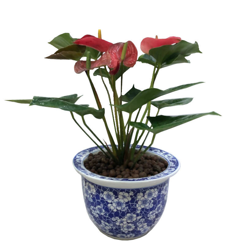 Anthurium Andraeanum, Flamingo Lily, Red Anthurium in Chinaware Pot (0.45m)