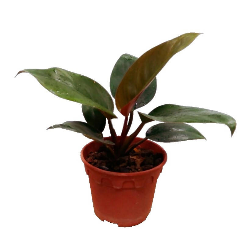 Philodendron Emerald Red (0.26m)