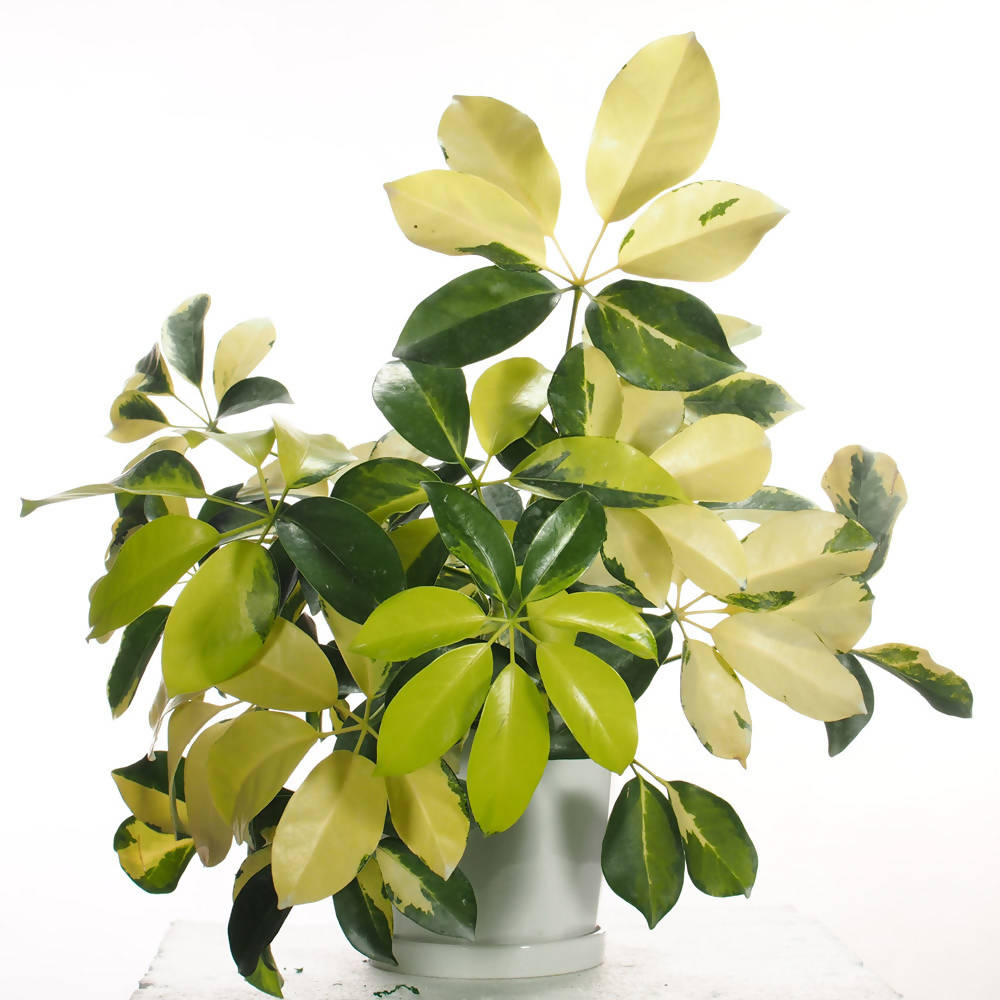 Schefflera arboricola in ceramic pot
