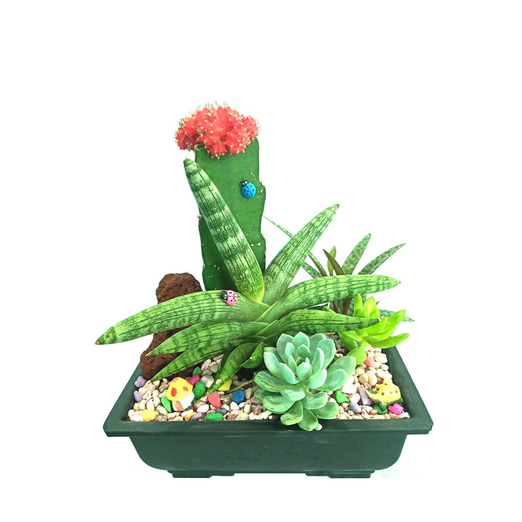 Grafted Cactus Assorted Set 2 (0.2m)