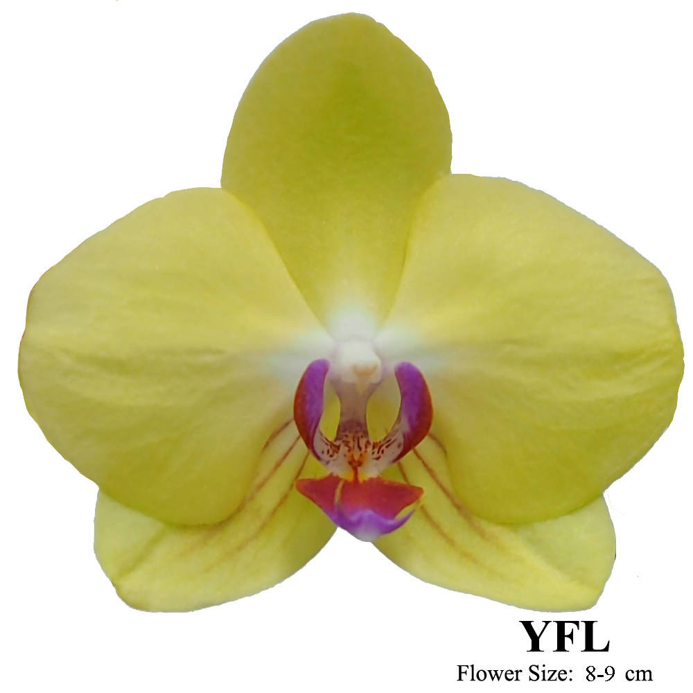 3 in 1 Phalaenopsis Yellow YFL in Gold Pot