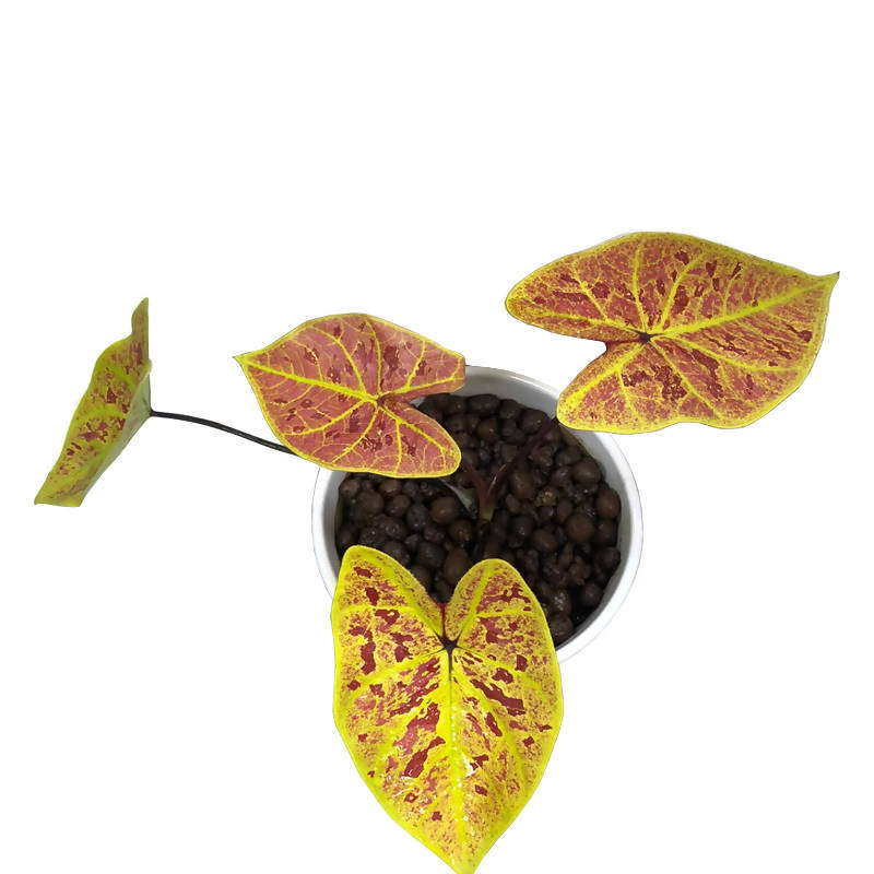 "Caladium Bicolour-New Wave ""Hybrid"" in White Pot (0.24m)"