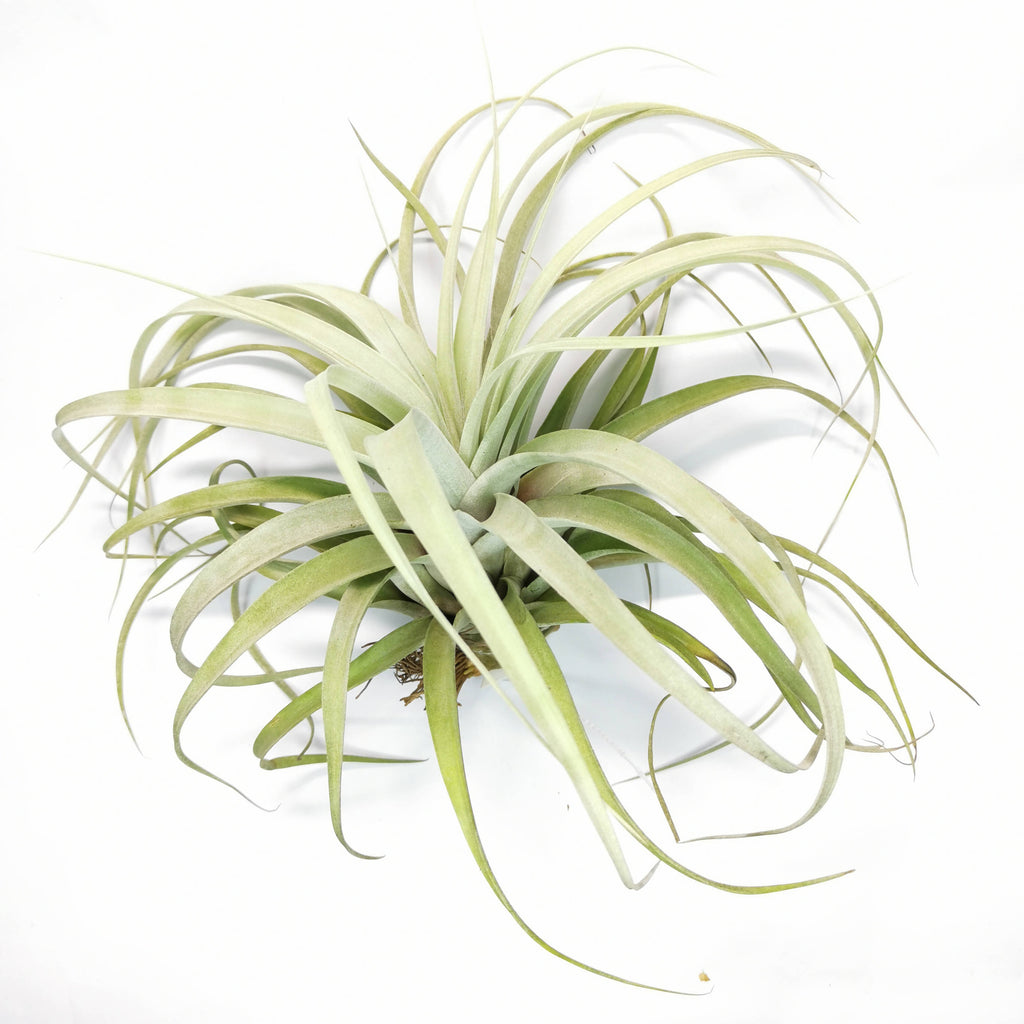 Air Plant Tillandsia capitata x xerographica