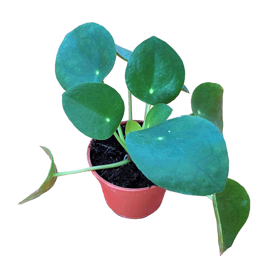 Pilea peperomoides, Chinese Money Plant (0.1m)