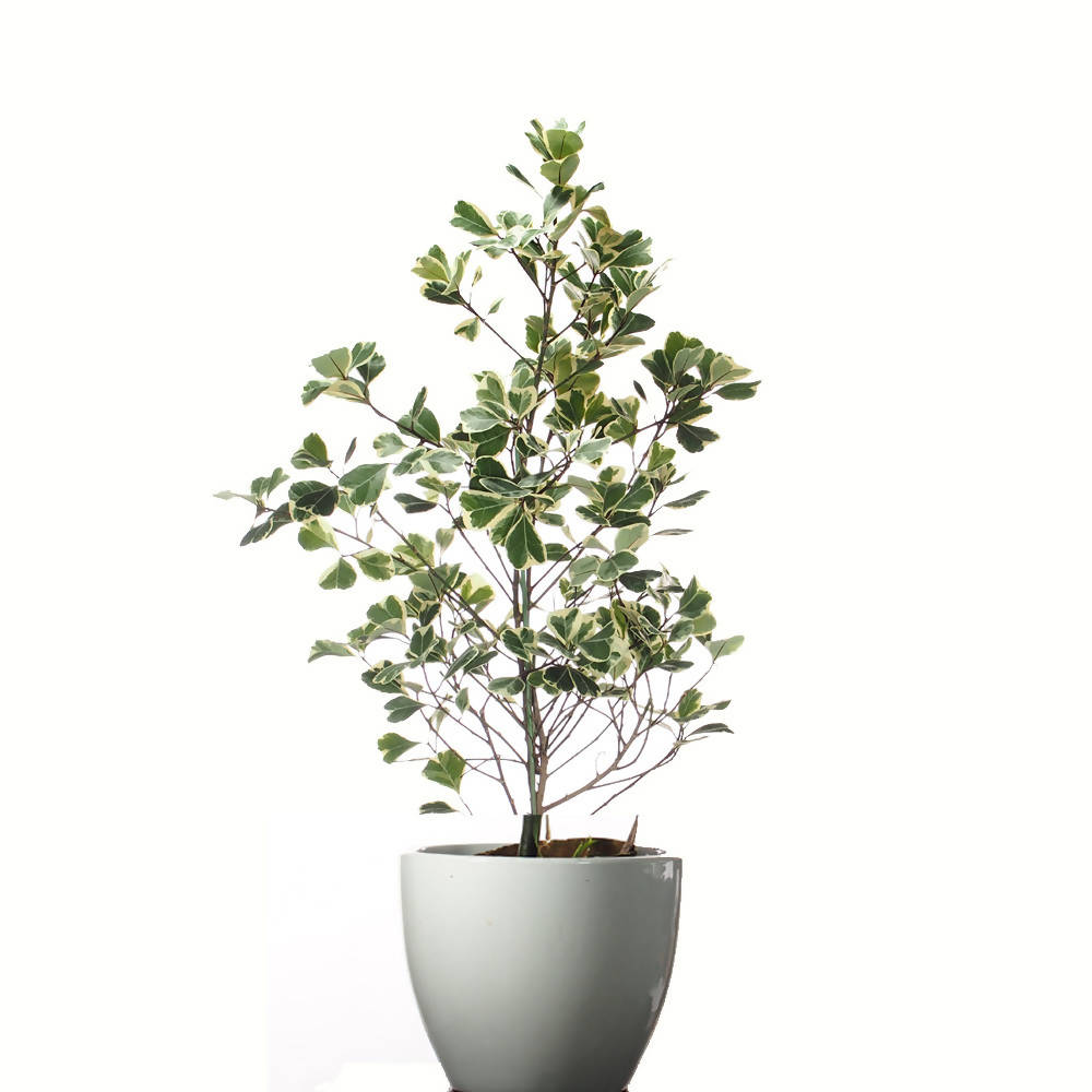 Ficus Triangularis Variegata in ceramic pot