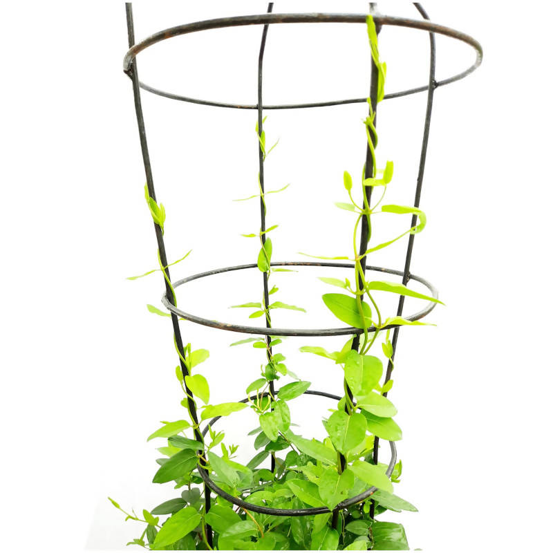 Lonicera japonica, Japanese Honeysuckle with Trellis Decorative Metal Climbing Frame (0.6mH)