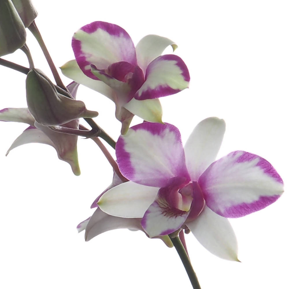 Dendrobium Miniature Song of Cherry in hanging shell