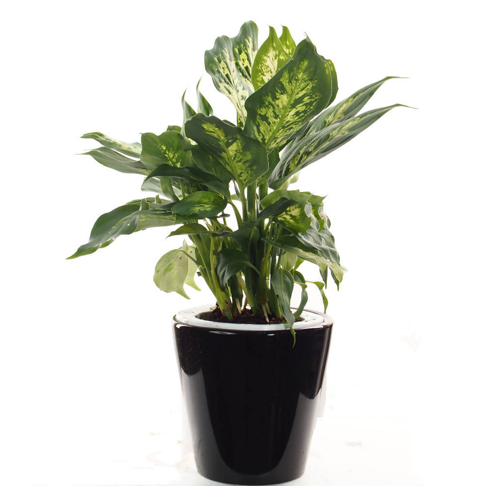 Dieffenbachia picta in ceramic pot