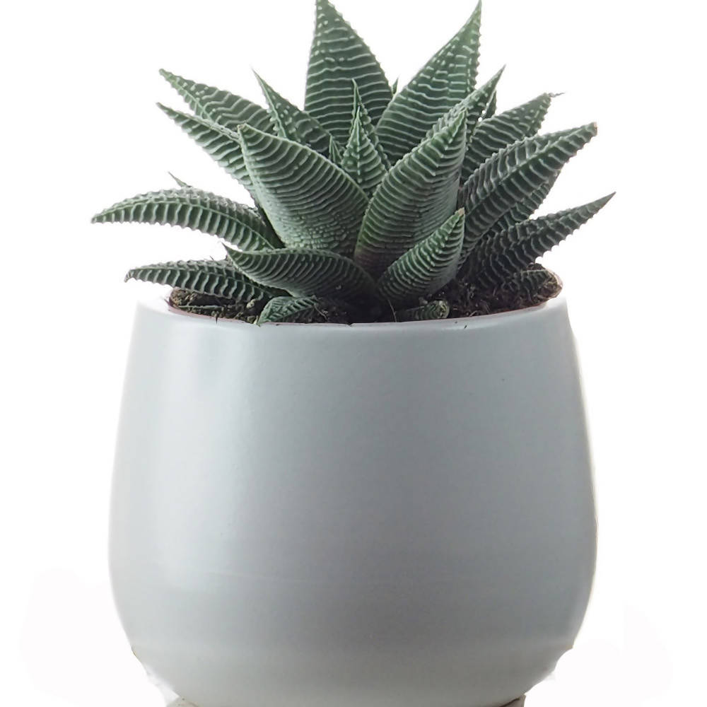 Haworthiopsis limifolia 'Spider White' in ceramic pot