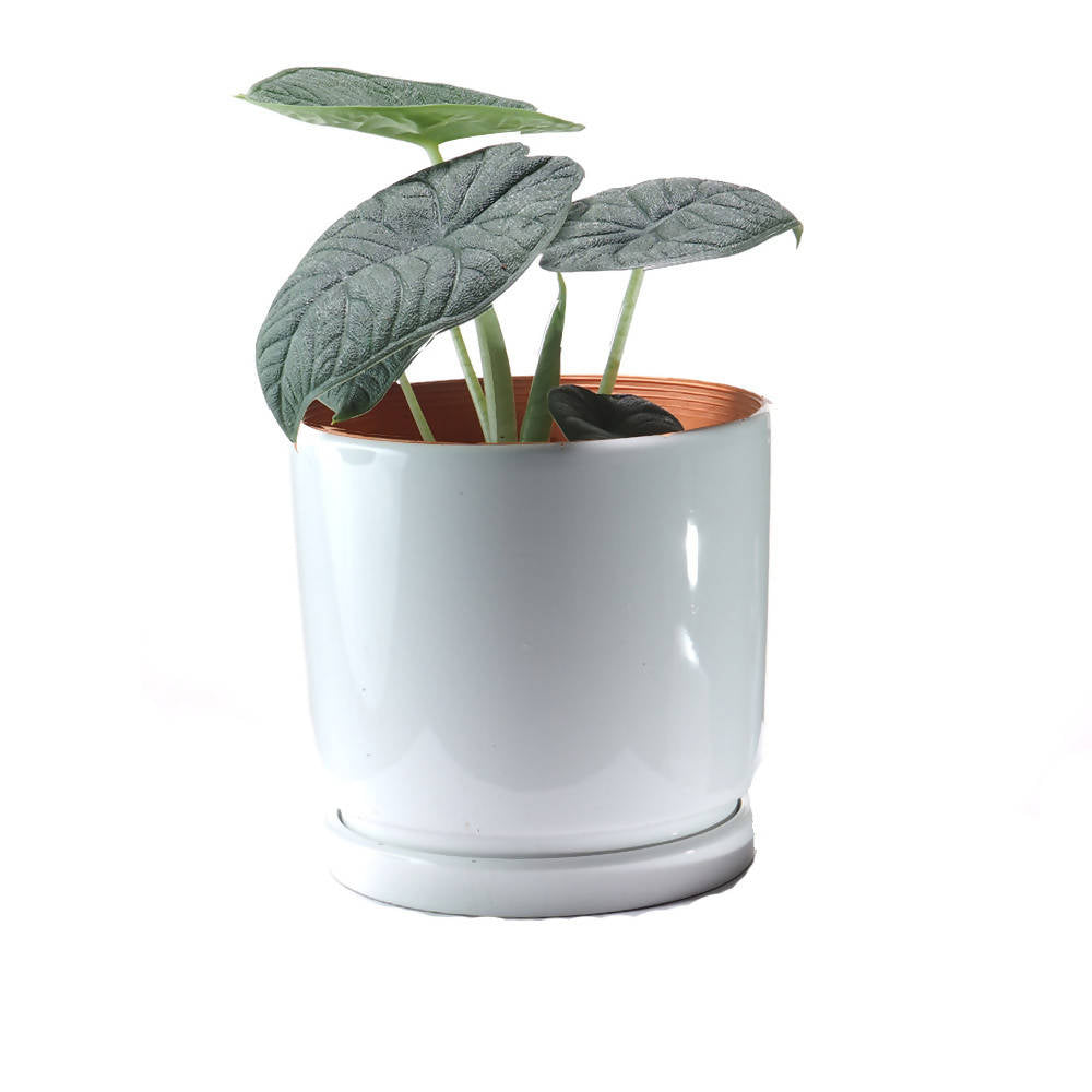 "Alocasia Melo ""Dark"" white ceramic pot"