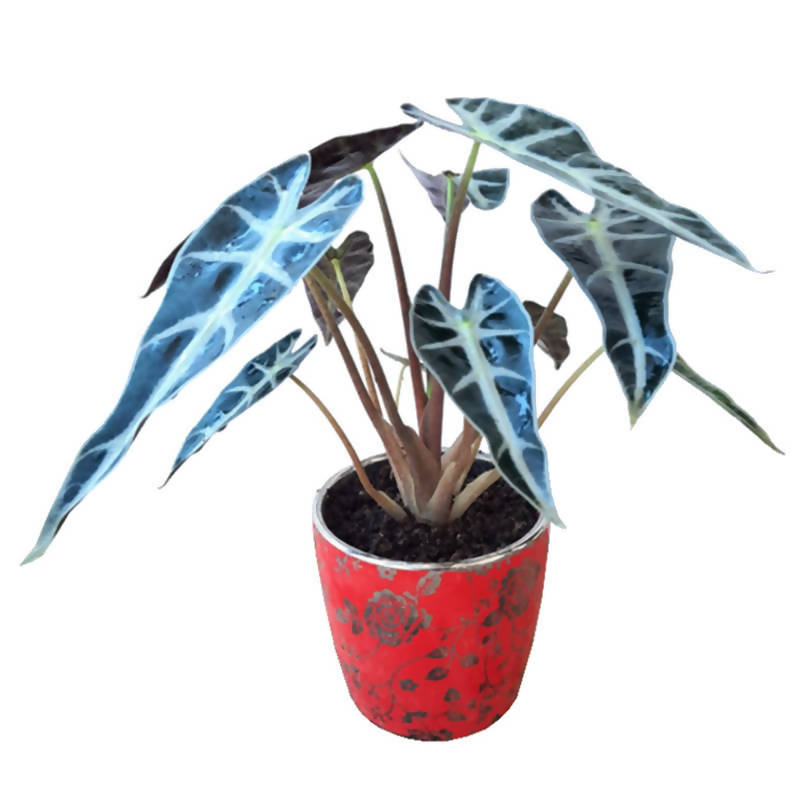 Alocasia sanderiana , African Mask in Red Chinaware Pot (0.25m)