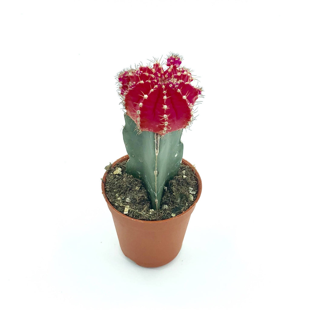 Cactus grafted, Pink (0.08m)