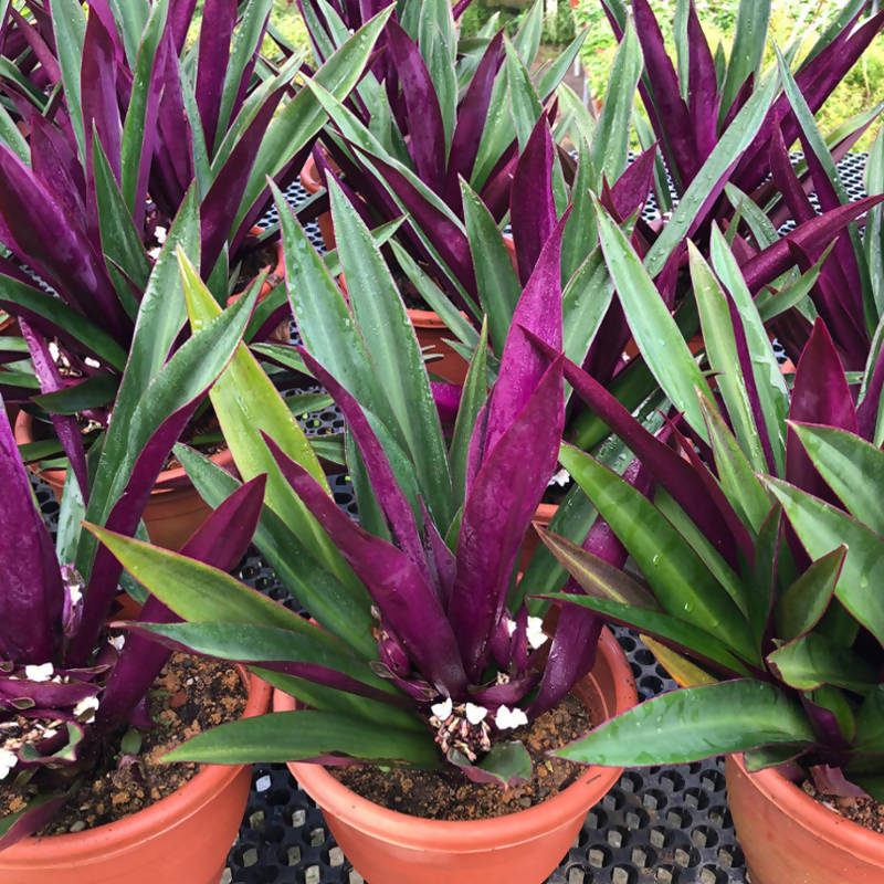 Tradescantia spathacea Sw., Boat Lily, Oyster Plant (0.4m)