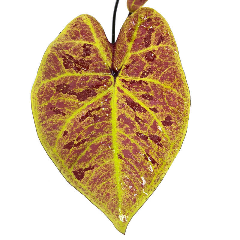 "Caladium Bicolour-New Wave ""Hybrid"" (0.22m)"