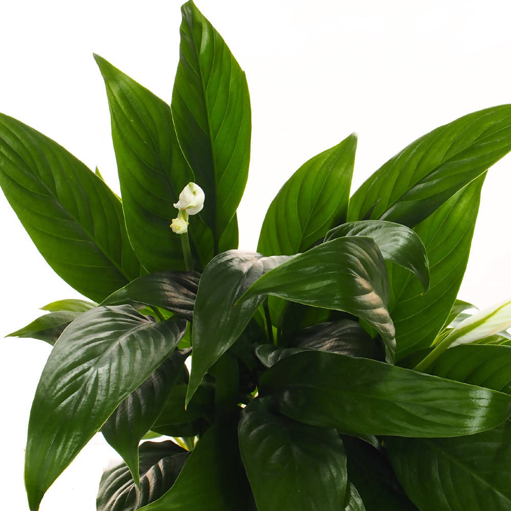Spathiphyllum, Peace Lily in ceramic pot