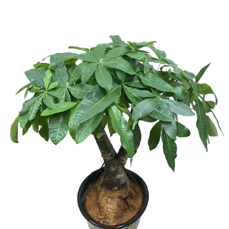 Pachira Aquatica, Money Tree Bonsai in Black Chinese plastic pot (0.9m)