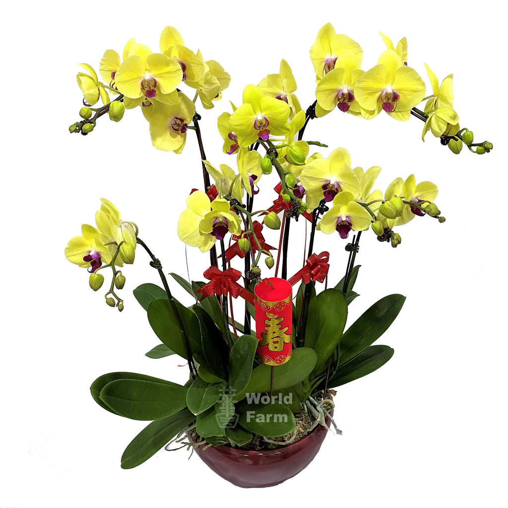 5-in-1 Phalaenopsis, Multi-coloured in Ceramic Pot