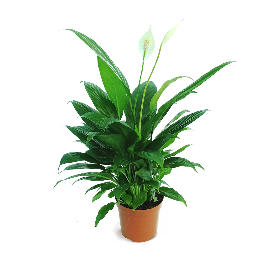 Spathiphyllum, Peace Lily (0.3m)