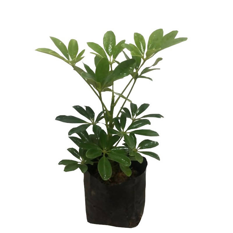 Schefflera arboricola, Dwarf Umbrella-Tree in bag (0.28m)