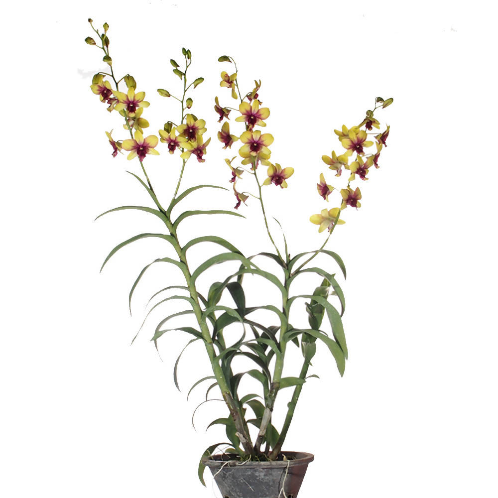 Dendrobium King of Monkey