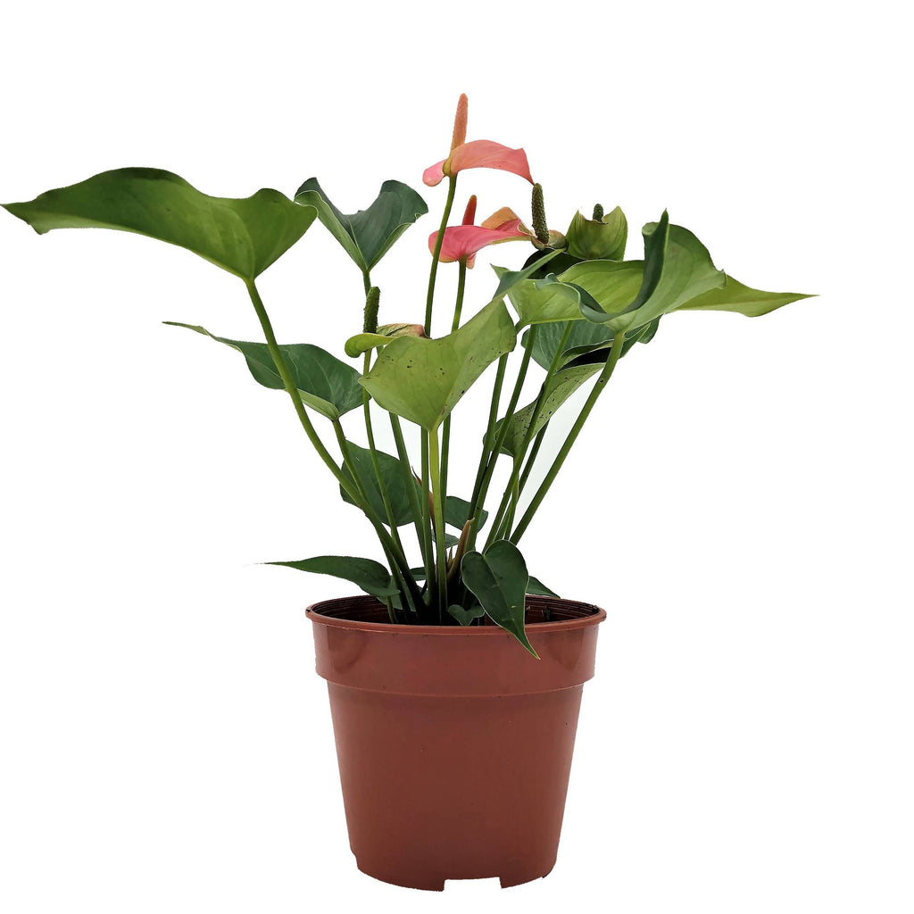 Anthurium andraeanum 'Pink', Flamingo Flower (0.25m)