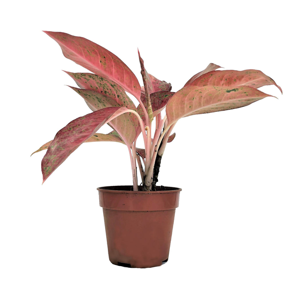 Aglaonema 'Siam Hybrid', Chinese Evergreen (0.25m)