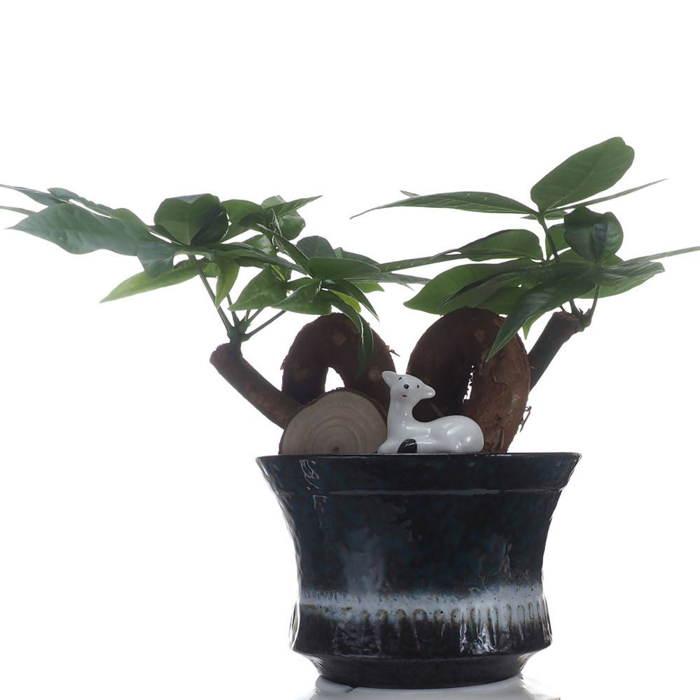 Pachira aquatica Bonsai, 发财树, in ceramic pot