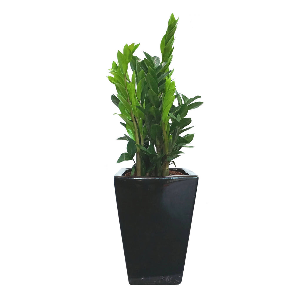 Zamioculcas in Square Black Pot (0.9m)