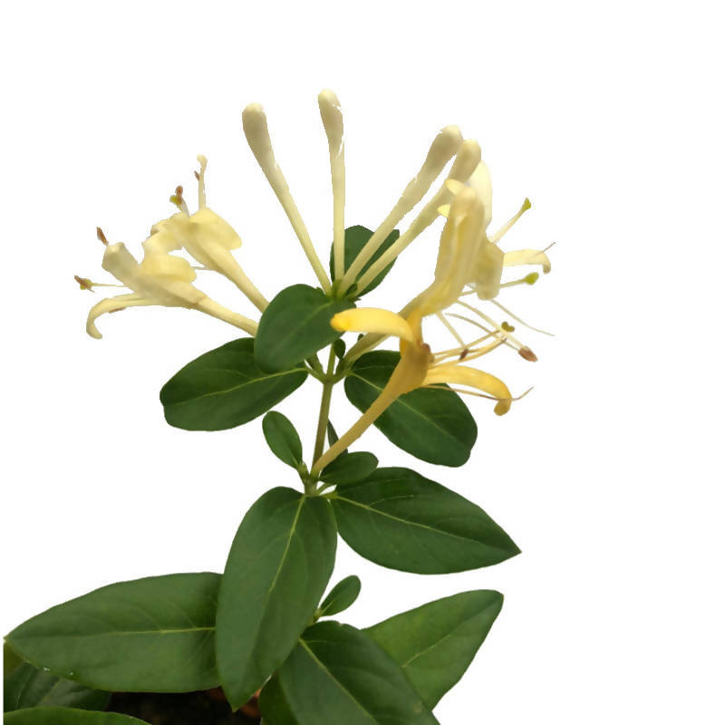 Lonicera japonica Thunb. ex Murray, Japanese Honeysuckle (Hanging) (0.4m)