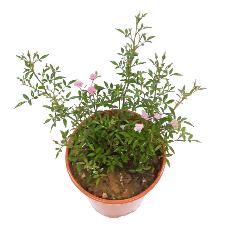 Rosaceae Rose, Miniature Pink Rose (0.25m)