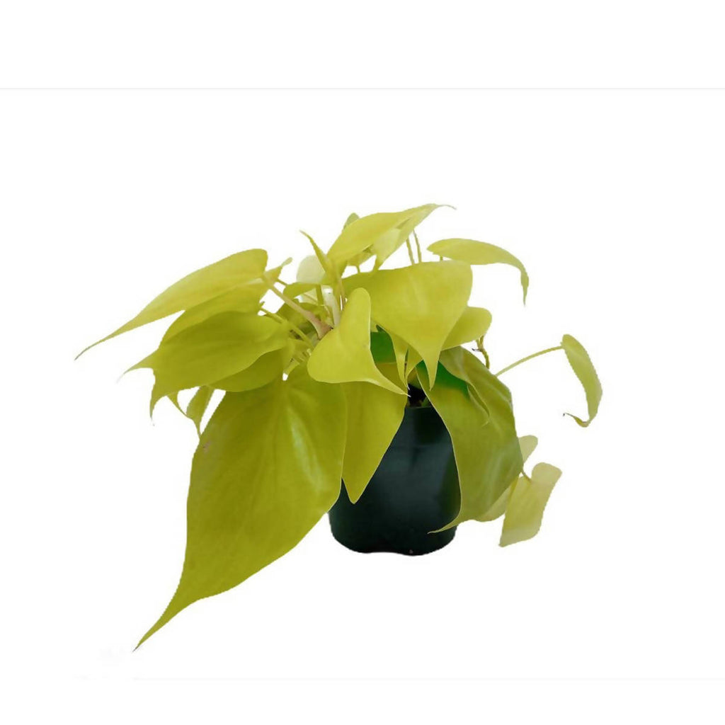 Philodendron Scandens Gold (0.20m)