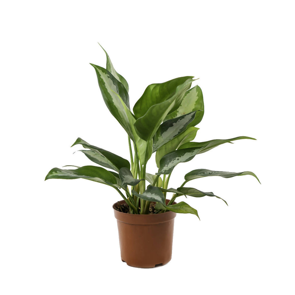 Aglaonema 'Pattaya Beauty', Chinese Evergreen (0.3m)