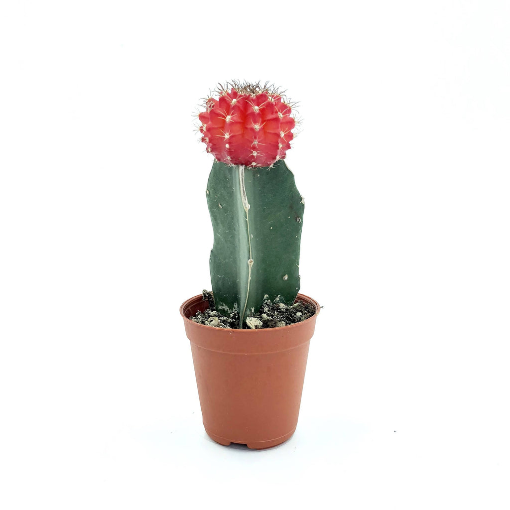 Cactus grafted, Red (0.08m)