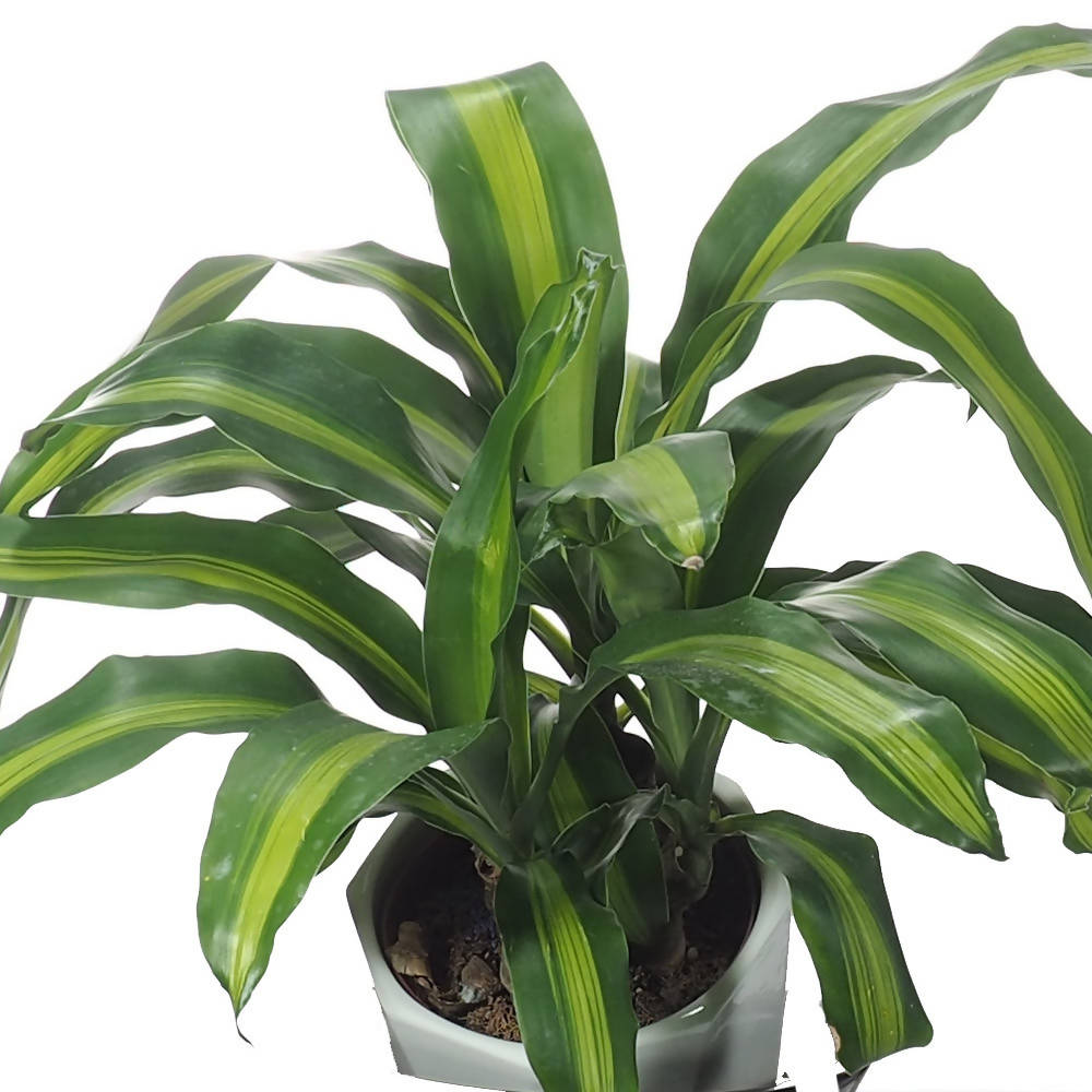 Dracaena fragrans 'Massangeana' in ceramic pot