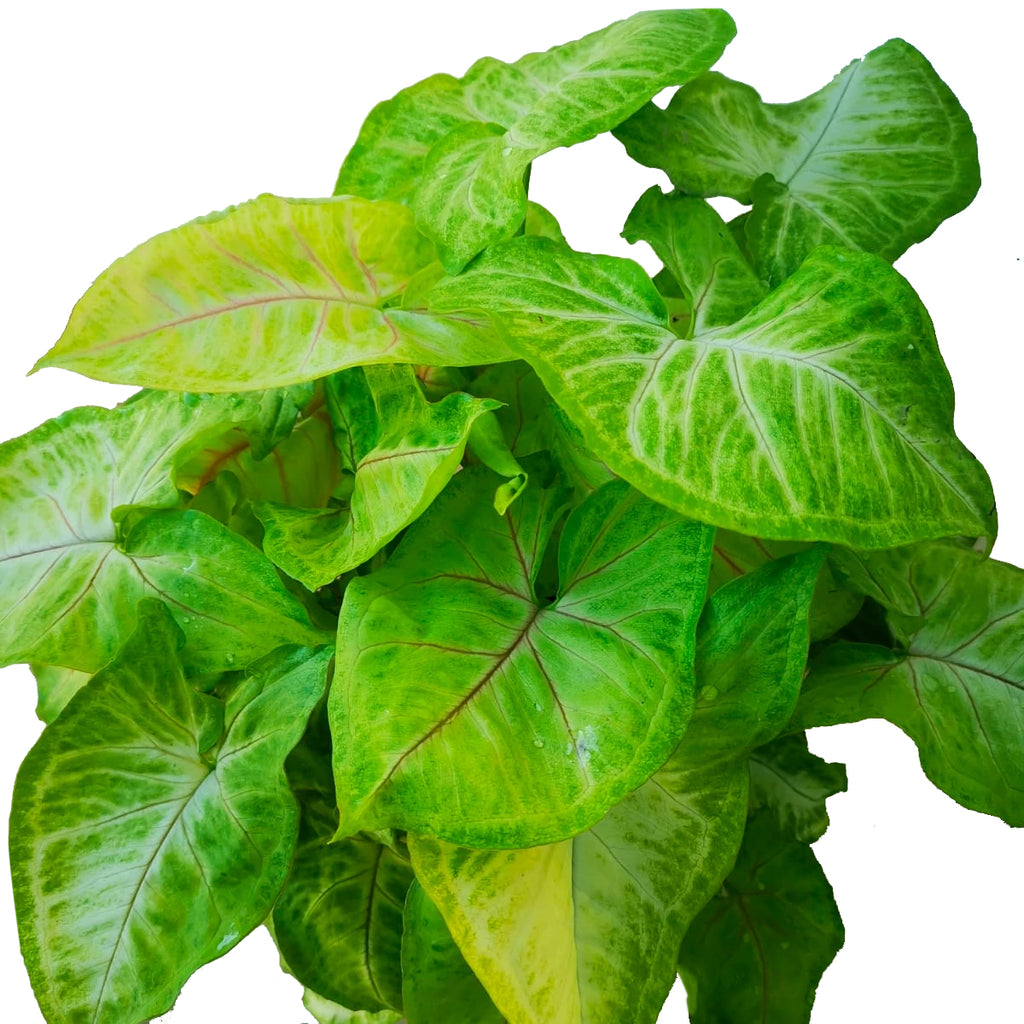 Syngonium lime green (0.18mh)