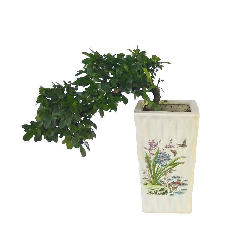 Carmona retusa , Fukien tea Bonsai, Hokkien tea Bonsai in White Ceramic pot (0.3m)