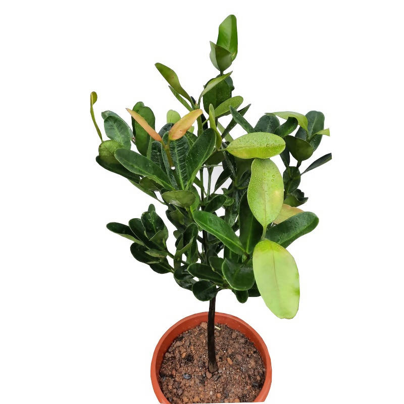 Garcinia subelliptica, Happiness tree (1m)