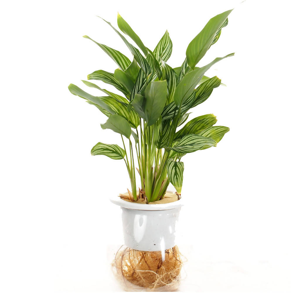 Calathea Vittata in ceramic pot