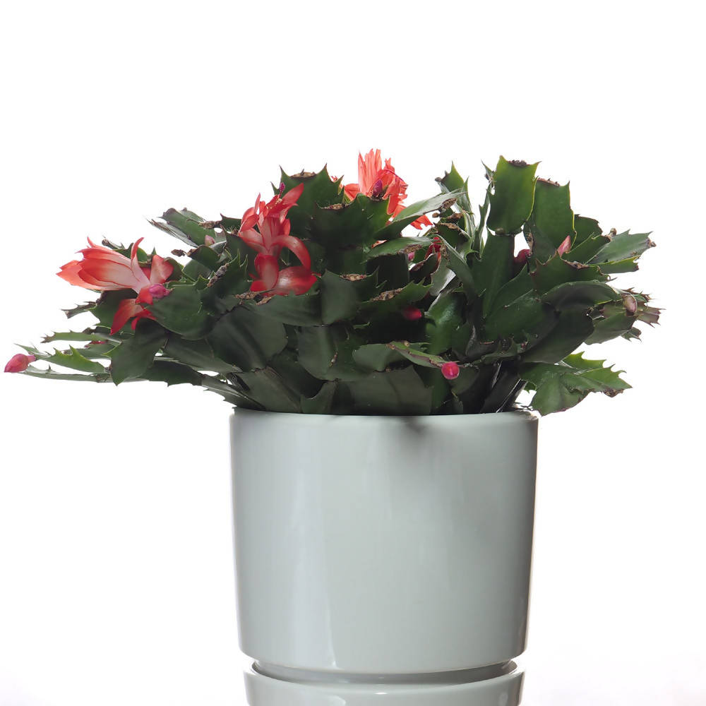Schlumbergera truncata, Christmas Cactus in ceramic pot