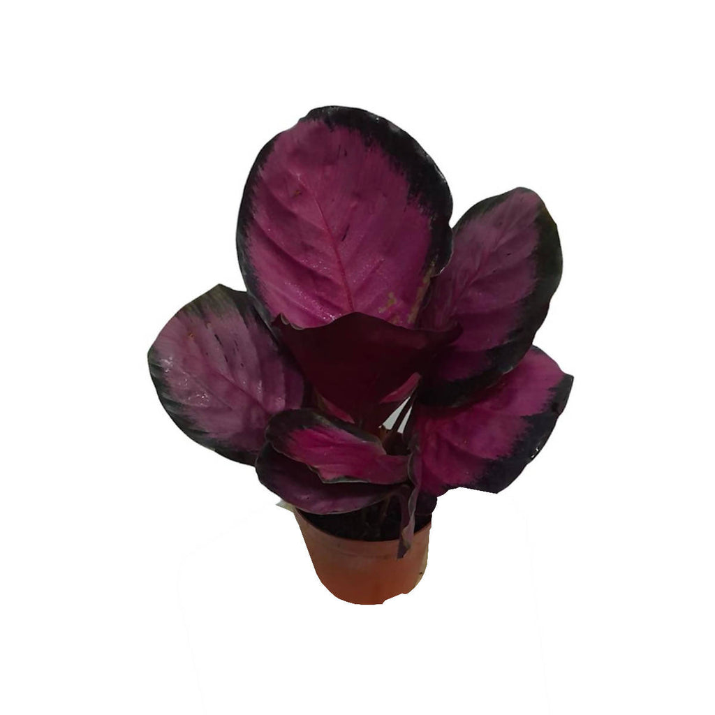 Calathea Roseopicta 'Rosy'. Peacock Plant (0.25mH)