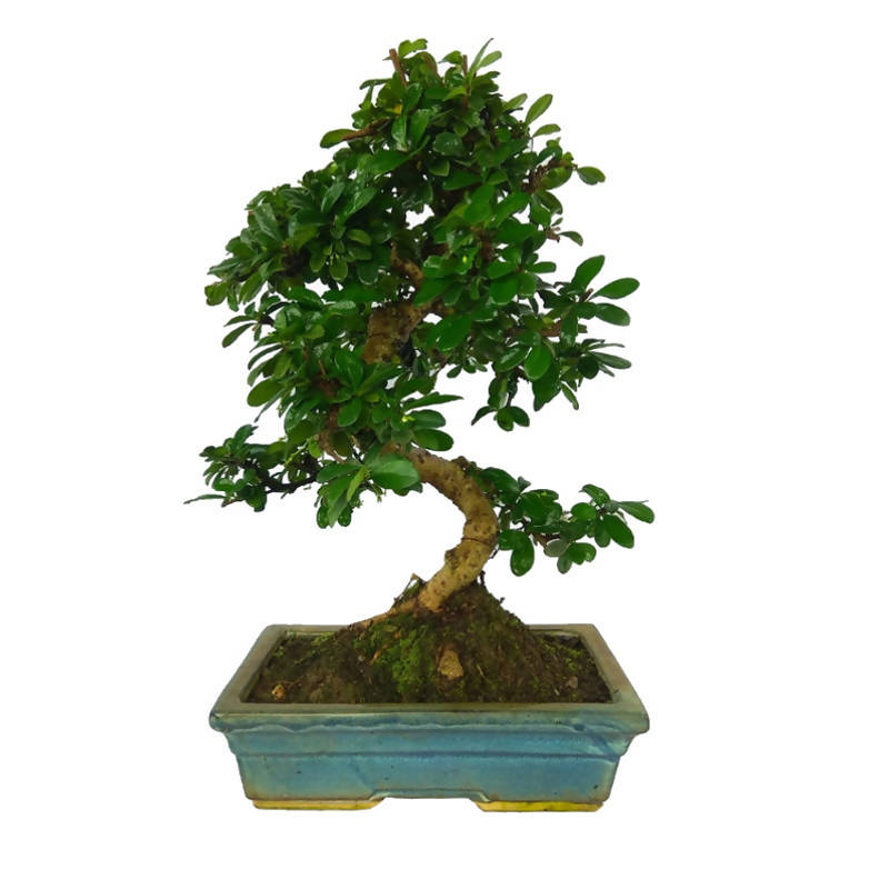 Carmona retusa , Fukien tea Bonsai, Hokkien tea Bonsai / M (0.35m)