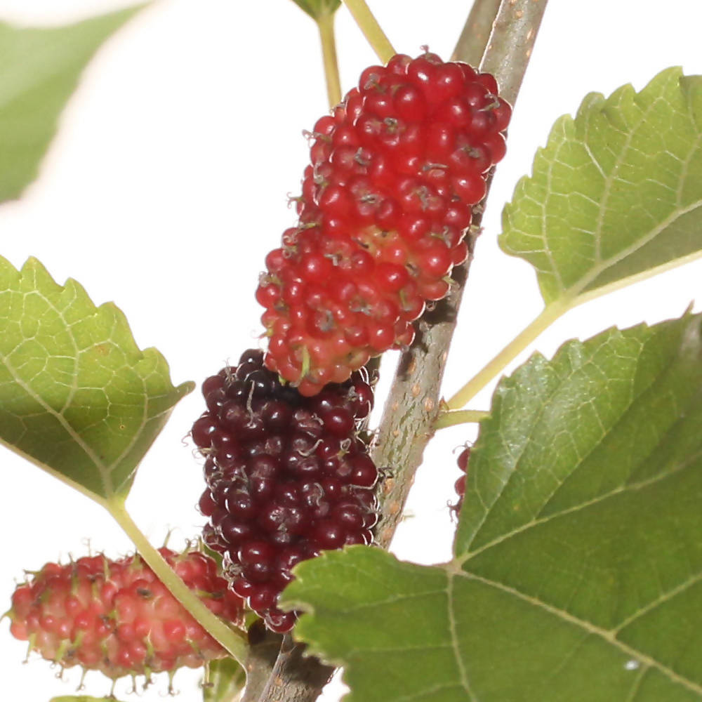 Morus spp., Mulberry Fruit Tree (0.5mH)