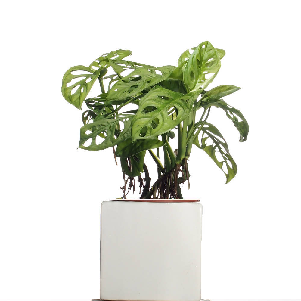 Monstera adansonii, Swiss Cheese Plant in ceramic pot