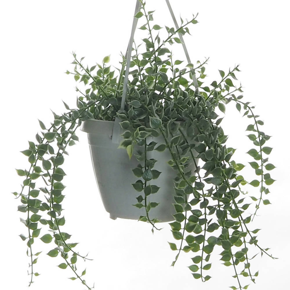 Dischidia ruscifolia variegated, Million Hearts Plant in Hanging pot