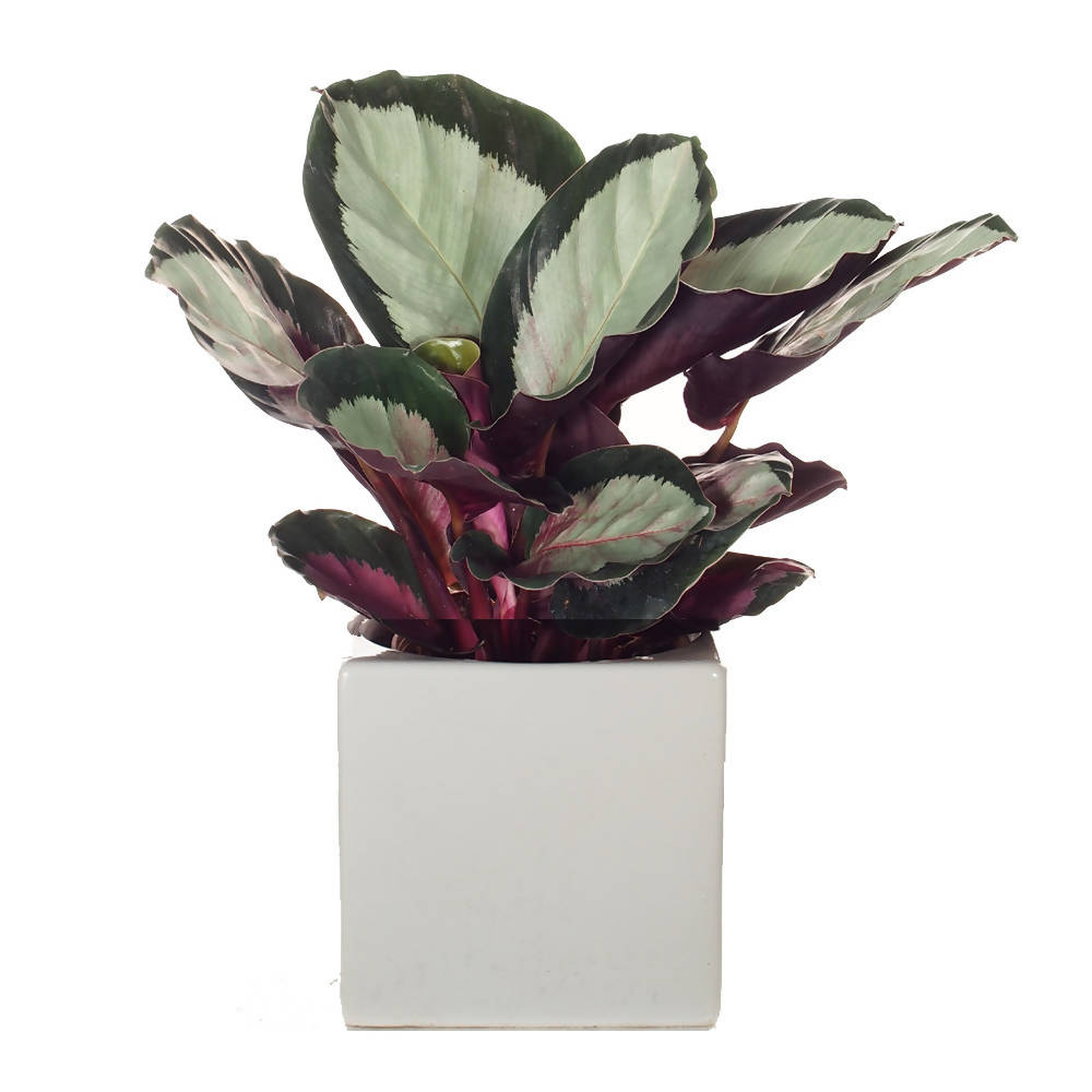 Calathea roseopicta 'Corona' in ceramic pot