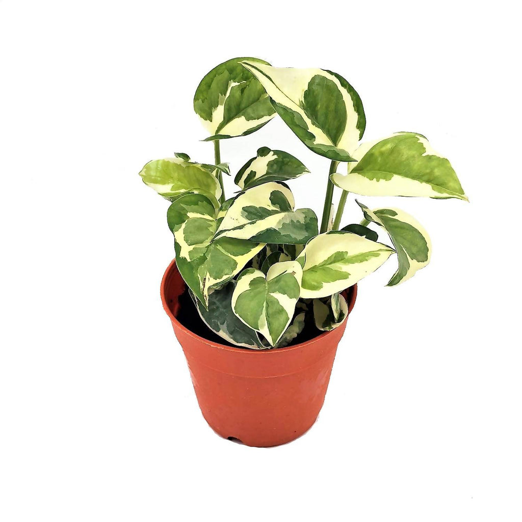 Epipremnum aureum 'N´Joy', Money Plant 'N´Joy' (0.1m)