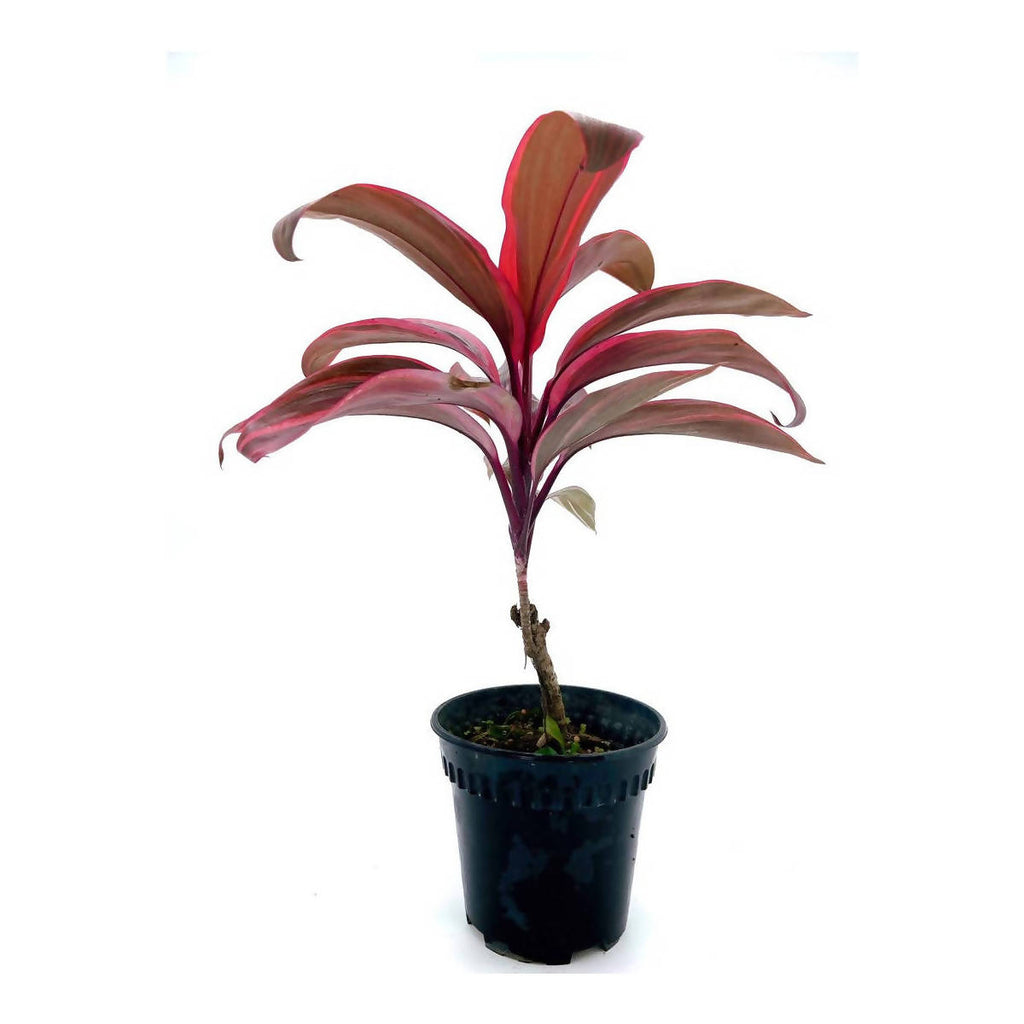 Cordyline 'Pink Passion' (0.35m)