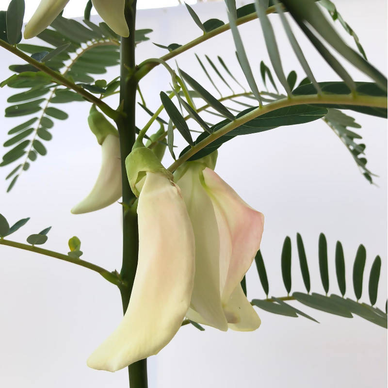 Sesbania grandiflora 'Alba', West Indian Pea, Vegetable Hummingbird, 大花田菁 (1.2m)