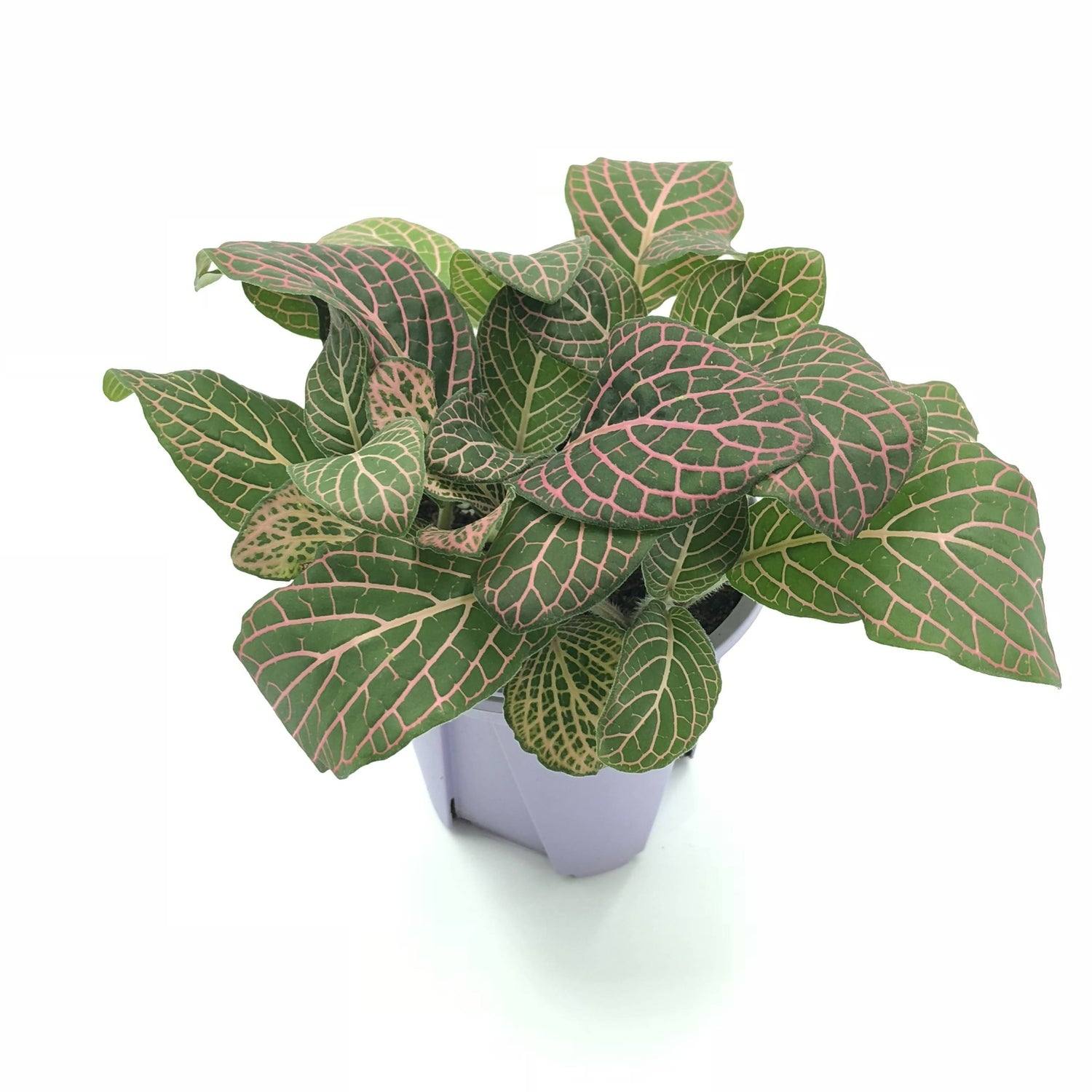 Fittonia sp., Nerve Plant, type B (0.05m)