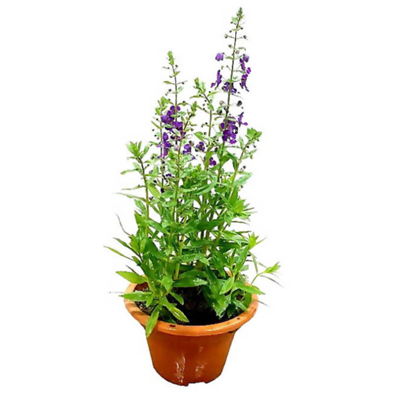 Angelonia a. ArcAngel Dark Purple (0.4m)